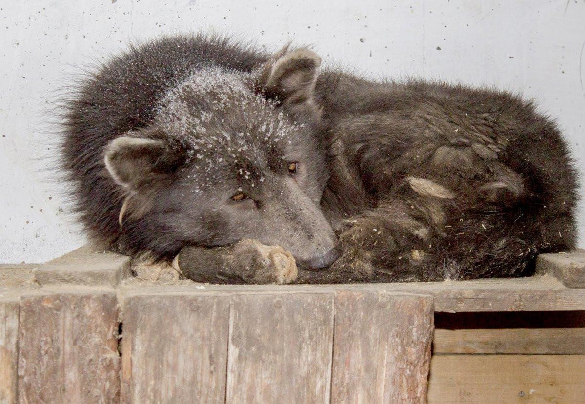 El perro osos ruso