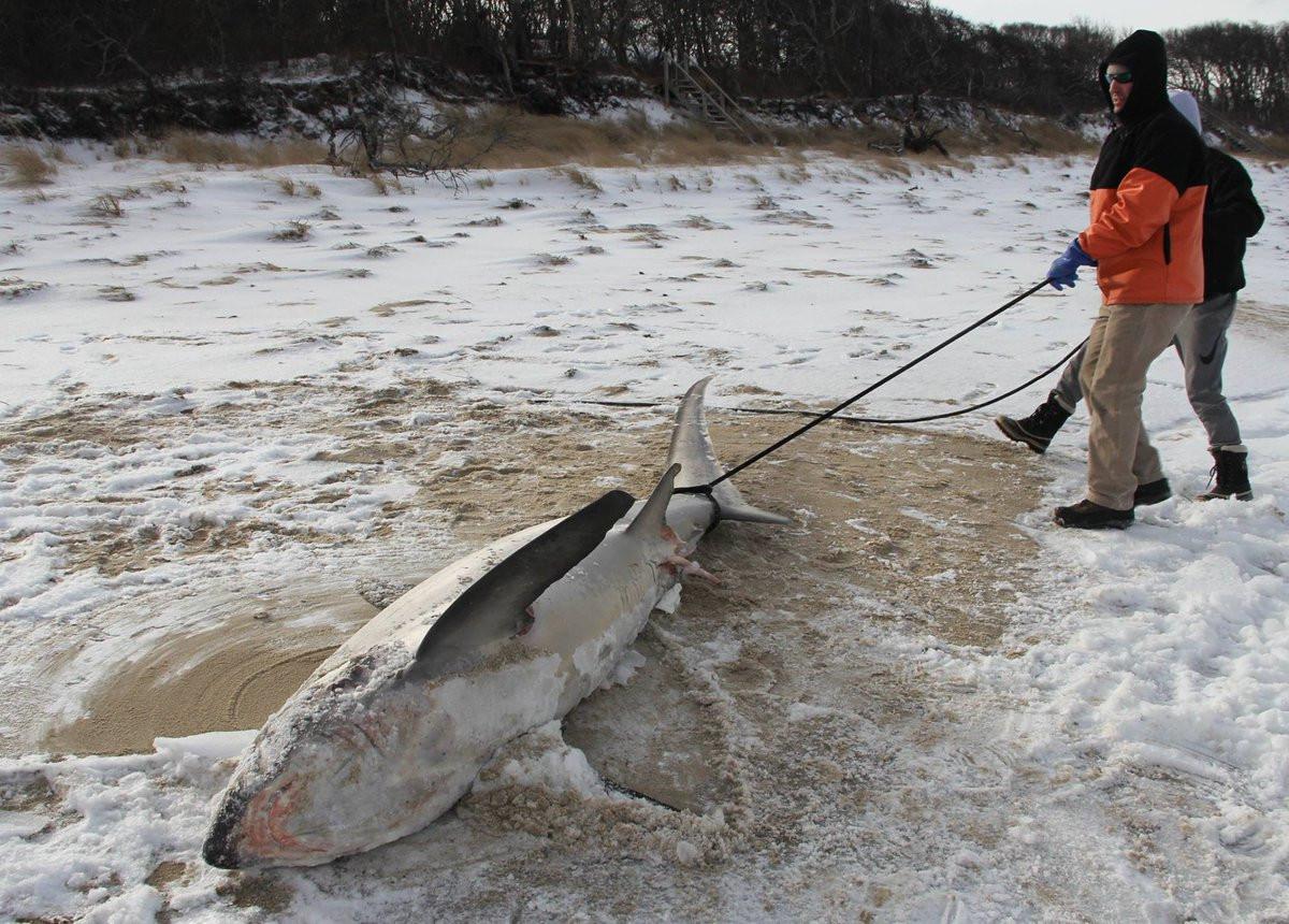 Tiburones mueren congelados por la ola de fru00edo en EEUU