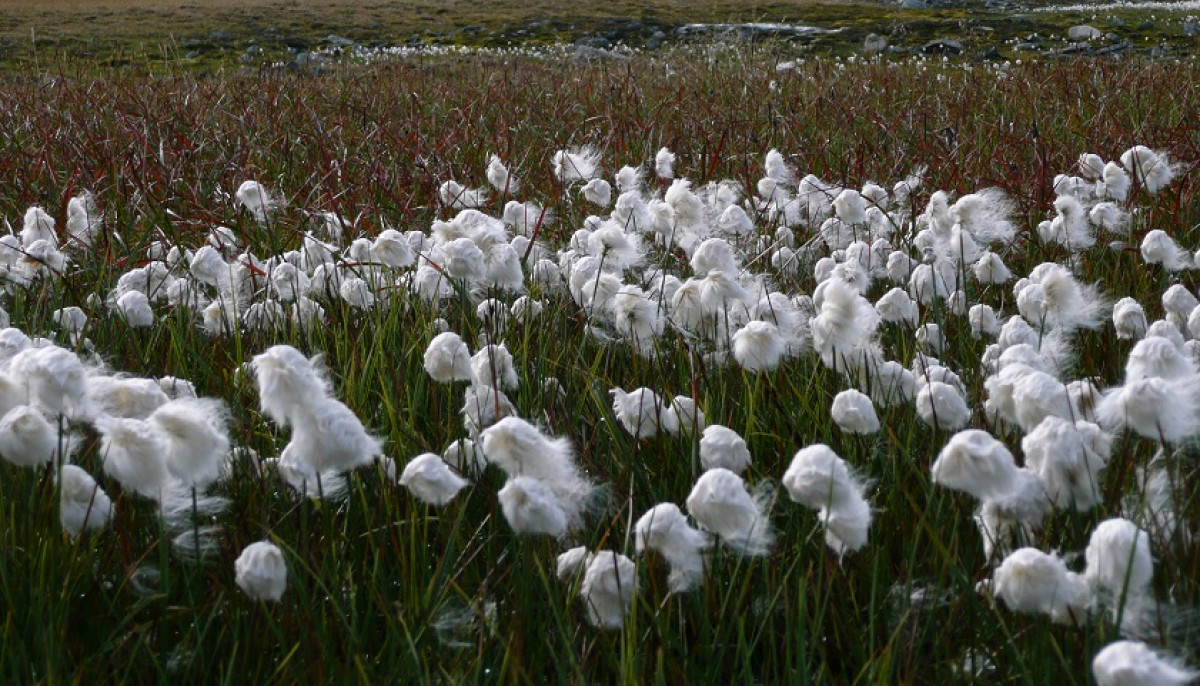 Sarek cotton grass