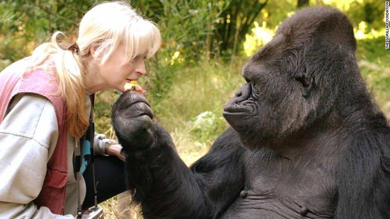 u200bKoko, la gorila que dominaba el lenguaje de signos