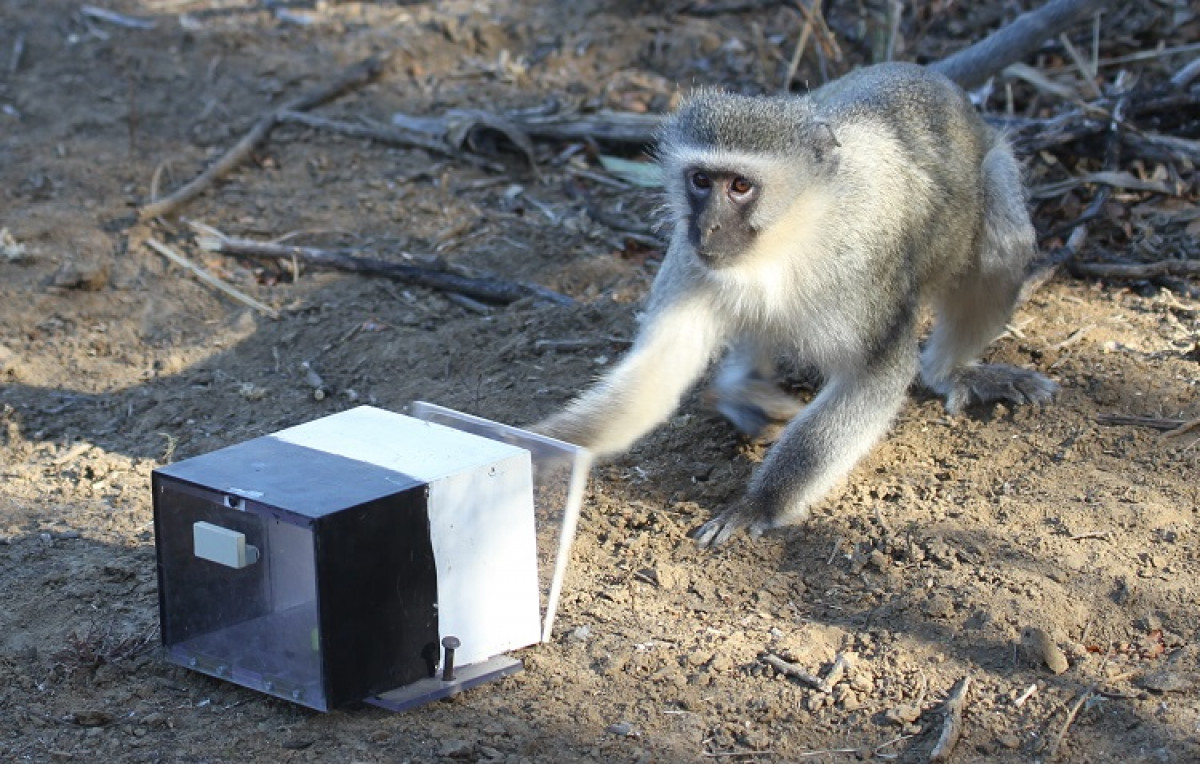 Vervet monkeys 002