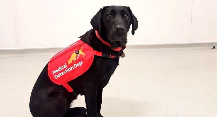 Perros entrenados por MedicalDetectionDogs para detectar malaria