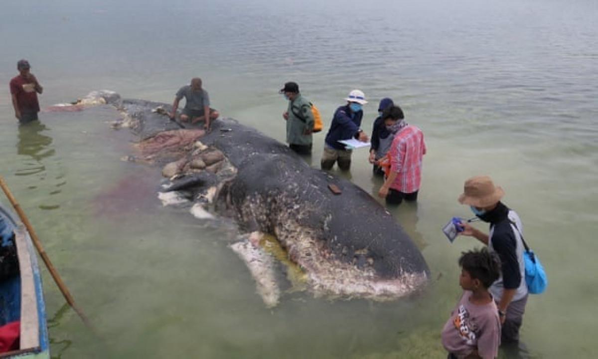 Una ballena varada con plu00e1stico en el vientre es vista en Wakatobi, en el sudeste de Sulawesi, Indonesia Fotografu00eda Medios Sociales Reuters