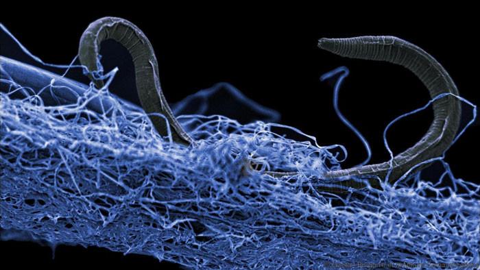 Un nematodo